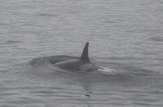 a Pod K orca Bellingham, Washington