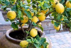 Jó móka a citrommagok elültetése! Vehetjük komolyan, és megpróbálkozhatunk az igazi citromfácskával, de dekornövényt is nevelhetünk a magokból.