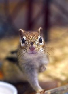 chipmunk..too cute!
