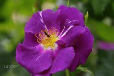 ~Lovely rose garden in Japan~ - Feliz fin de semana mis amigos:)) Have a happy weekend my friends:))
