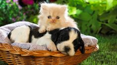 Little Beautiful Cat With Dog Photo   Famous HD Wallpaper