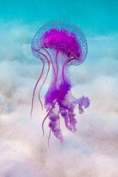 Pelagia noctiluca - Mauve stinger jellyfish