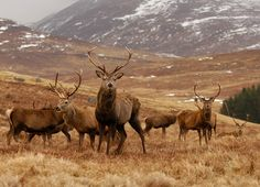 Red Deer Stags in Scotland