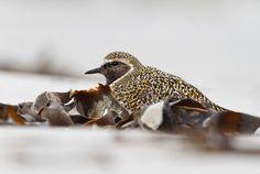 Goudplevier -...Fotograaf: RWilllemsen Goudplevier - Pluvialis apricaria