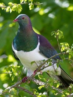New Zealand Wood Pigeon or Kererū (Hemiphaga novaeseelandiae) - endemic to New Zealand. All Birds, Cute Birds, Pretty Birds, Exotic Birds, Colorful Birds, Beautiful Creatures, Animals Beautiful, Animals And Pets, Cute Animals