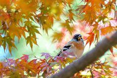 myu-myu:  wild bird in autumn tints leaves    (Fringilla montifringilla)