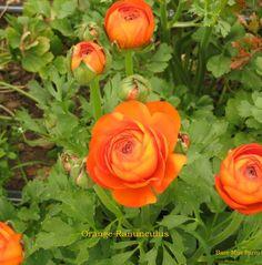Orange Ranunculus - soft orange petals.  Late March.   www.baremtnfarm.com #baremtnfarm_ranunculus #willamettevalleygrown