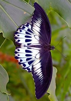 Purple and white butterfyl