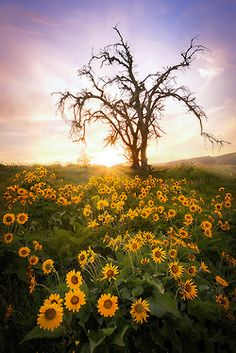 Sunflowers Surrounding a Tree Clinging to Life.