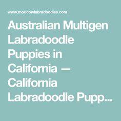Australian Multigen Labradoodle Puppies in California — California Labradoodle Puppies Breeder