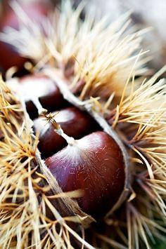 Chestnut opening