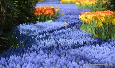 River of Flowers in Lisse, Netherlands at the Keukenhof Gardens.