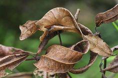L'uroplatus phantasticus est une espècede gecko nocturneet arboricole,relativement petit. Sa particularité est de ressembler à une feuille. La queuea une forme de feuille, tandis que la tête est relativement grande. Une crête en pointe au-dessus des yeux leur donne un regard très parti…