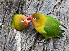 Information about the different types of lovebirds, their origin, life span, behavior, general care, and more! If you are thinking of adopting a Lovebird, look here first to find out about them!