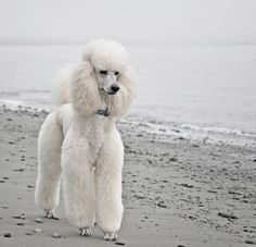 Perfect white standard poodle!