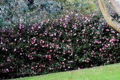 camellia-hedge-evergreen-informal-dark-green-foliage-pink-flowering-in-devo-120254.jpg (600×401)