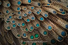Malayan Peacock Pheasant Feathers