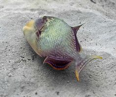 The Yellowmargin Trifferfish is sometimes known as the Green Triggerfish. This photo shows a typical swimming posture.
