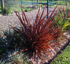 Phormium apricot queen flax schwartzwilson plant ideas phormium tenax flamin is a semi compact phormium with red orange and thecheapjerseys Gallery