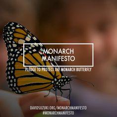 Love butterflies? Sign the Monarch Manifesto!   David Suzuki Foundation