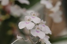 Tender orchids
