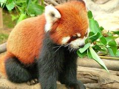 Cute red panda. Makes me want it as my pet