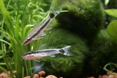 The 10 best algae eaters for tropical tanks. Otocinclus