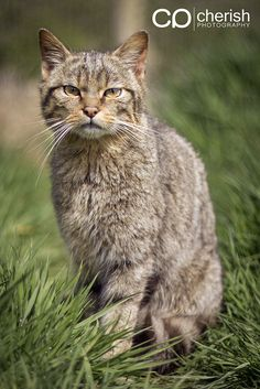 Scottish Wildcat | Flickr - Photo Sharing!