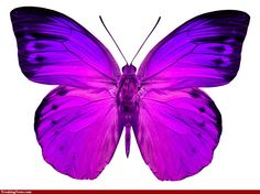 butterfly pics | Pink Butterfly Pics - High Resolution Photoshop Pictures - Freaking ...