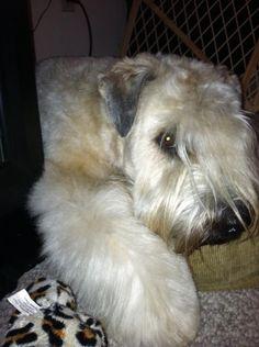 Wheaten Terrier, princess fluffy paws