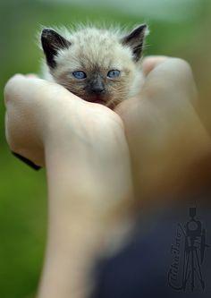 siamese kitten oh...I want it!