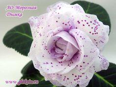 АО-Морозная Дымка Saintpaulia, Live Plants, Dream Garden, Indoor Plants, House Plants, Nature, Gardens, Creepers, Plants