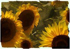Girasoli particolare - Sunflowers detail