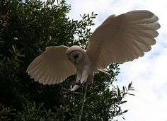 Hand made Barn Owl sculpture by ZackMclaughlin on Etsy