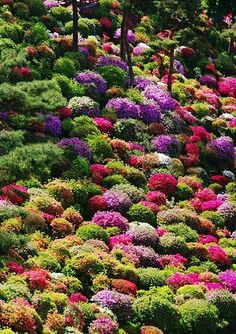 Azalea bushes at Shiofune Kannon