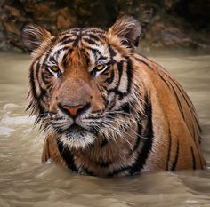 "funnywildlife: "" Tiger by @Doug88888 on Flickr. Splish Splash Splosh """