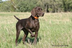 ENGLISH POINTER---- love the color!!