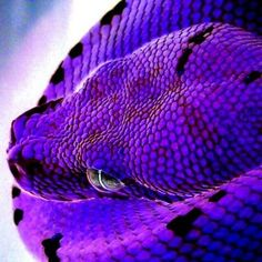 Purple snake- if this snake is real then it is probably one of the most beautiful snakes ever. Pretty Snakes, Cool Snakes, Colorful Snakes, Beautiful Snakes, Colorful Animals, Purple Animals, Cute Reptiles, Reptiles And Amphibians, Beautiful Creatures