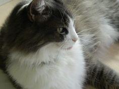 Aysel Şengüder'in kedisi BONCUK