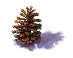 Pinecone Finished by *lesliesketch on deviantART
