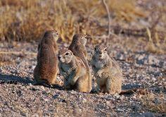 Xerus inauris (South African Ground (c) Greg and . Ground Squirrel, Animal Alphabet, Mammals, Dean, African