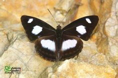 White-patched Sergeant(Athyma punctata) photographed by Antonio Giudicci in Bhutan