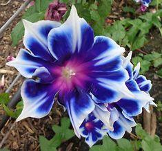 KIKYO-Snowflakes-Very-Rare-The-Real-Thing-Morning-Glory-Vine-10-Seeds