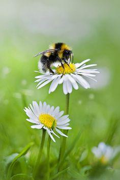 Nature on display - bee + daisy Simply Beautiful, Beautiful World, Beautiful Flowers, Foto Macro, Flora Und Fauna, I Love Bees, Bee Art, Tier Fotos, Wild Flowers