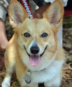 madeline the pembroke welsh corgi from the daily puppy  http://www.dailypuppy.com/dogs/madeline-the-pembroke-welsh-corgi_2012-03-13