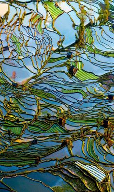 rice fields - arial view