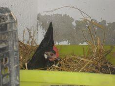Está pronta para pôr um ovo :)