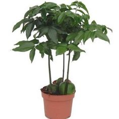 Bönträd