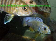 Sciaenochromis Fryeri gold