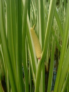 Cattails. Each part of the Cattail plant is edible. Think of them as a wilderness supermarket. Cattails also have many other uses too, including tinder!